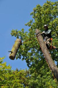 postupné kácení stromu